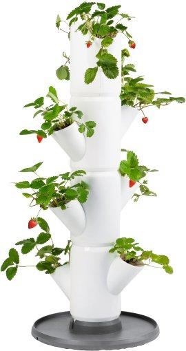 Erdbeerbaum Sissi Strawberry Starter weiß